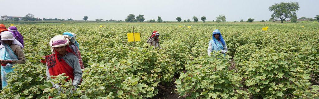 cotton_farm